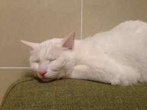 眠る愛猫、しろすけ